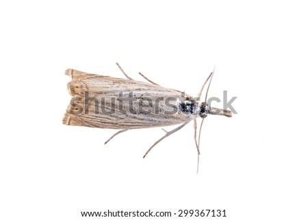 Gray moth isolated on a white background