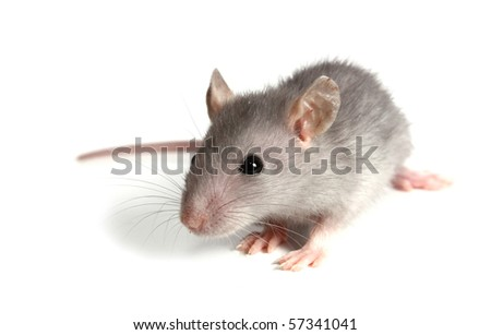 gray mouse isolated on white background - stock photo