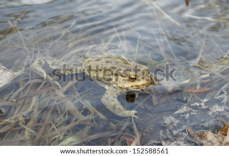 Gray or ordinary toad (Bufo bufo) in the water - stock photo