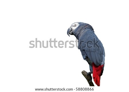 Gray parrot isolated