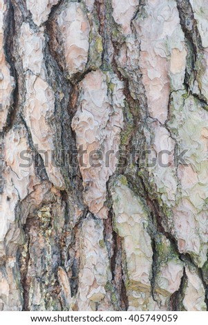 Gray patches of bark on spruce age in the national park .  - stock photo