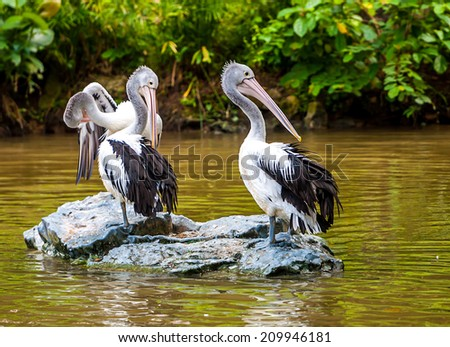 Gray pelican on a rock near the water, wildlife - stock photo
