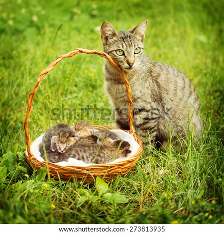 Gray pet cat with her baby kittens in a basket outdoors in green grass. Closeup of gray tabby cat family. Square format, retouched, vibrant colors, natural light.  - stock photo
