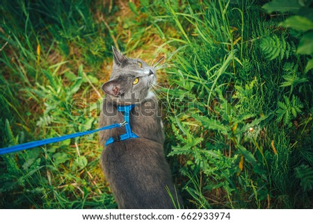 Gray Pet Cat With Leash Wandering In Backyard. Young Cute Male Cat Wearing  A Harness