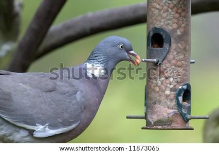 Gray Pigeon in garden using a bird feeder. - stock photo