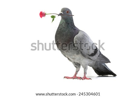 gray pigeon with a rose on a white background - stock photo