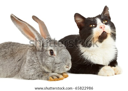 Gray rabbit and cat sitting on white background