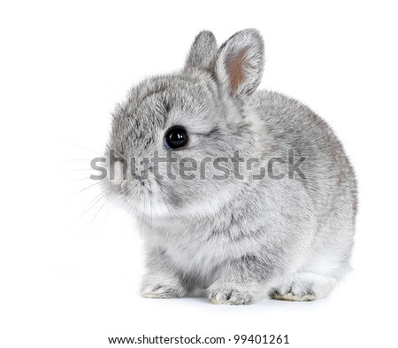 Gray rabbit bunny baby isolated on white background - stock photo