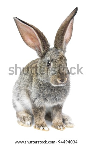 gray rabbit isolated on white background - stock photo