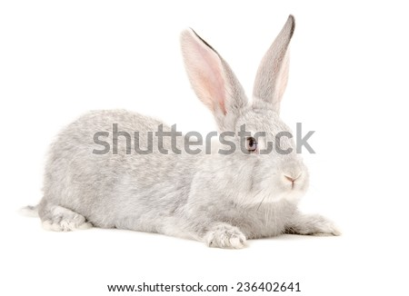 Gray rabbit lying isolated on white background - stock photo