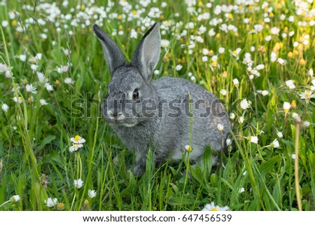 Gray rabbit on the meadow / gray rabbit / chinchilla rabbits