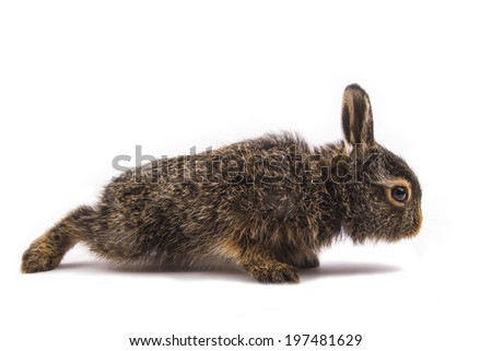 gray rabbit standing on white background