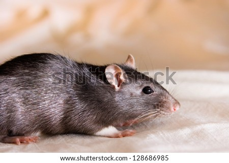 Gray rat - stock photo