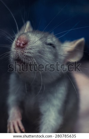 gray rat - stock photo