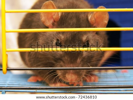 Gray rat in a cage close up - stock photo