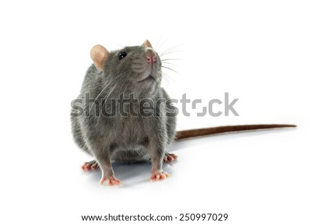 gray rat in front of white background - stock photo