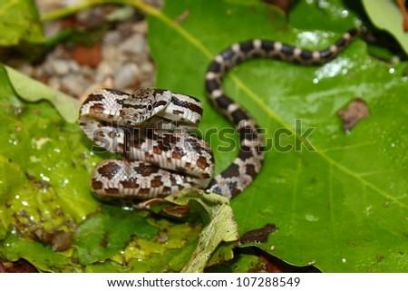 Gray Rat Snake (Elaphe obsoleta) in northern Alabama - stock photo