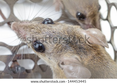 Gray rats in a cage close up
