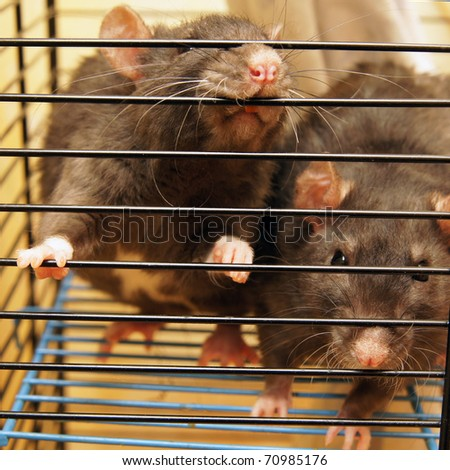 Gray rats in a cage close up - stock photo