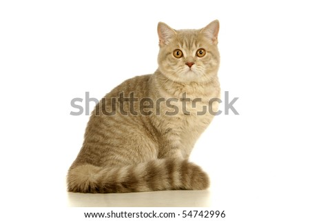 Gray scottish cat on the white background - stock photo