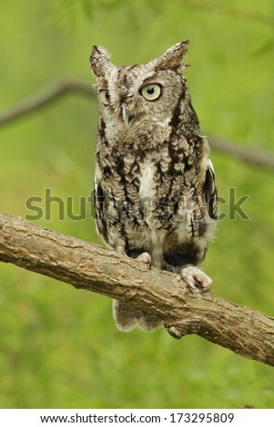 Gray Screech Owl Perched