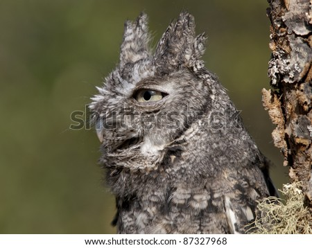 Gray Screech Owl perched on an interesting tree branch covered with moss.