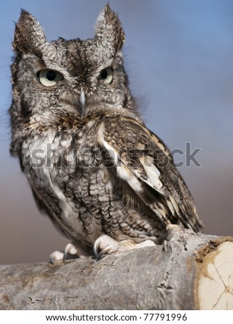 Gray Screech Owl sitting on a branch - stock photo