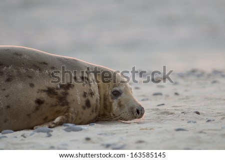 Gray seal (Halichoerus grypus)