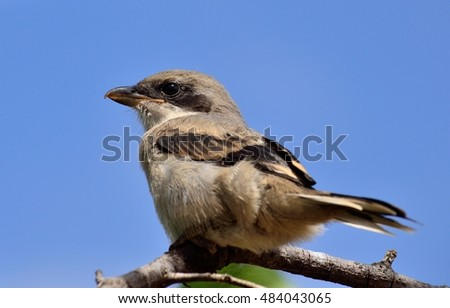 Gray shrike with intense blue sky background