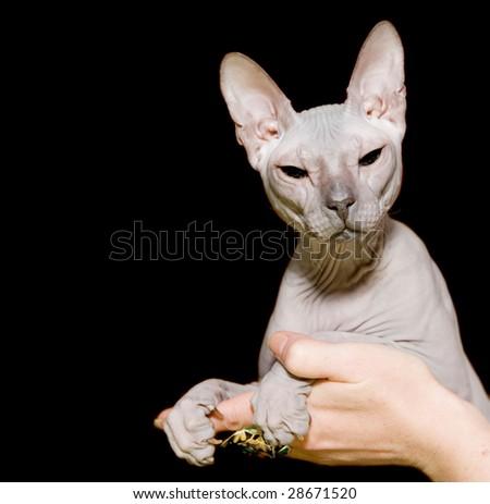 Gray sphinx hairless cat in hands - stock photo