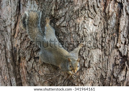 Gray squirrel clinging to a tree. - stock photo