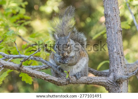 Gray squirrel eating a walnut sitting on the branch of a sapling.  - stock photo