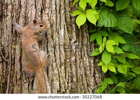 Squirrel Climbing Tree Stock Images, Royalty-Free Images ...