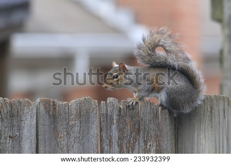 Gray Squirrel perched on rustic wooden fence with selective focus and soft focus neighborhood houses as background. - stock photo