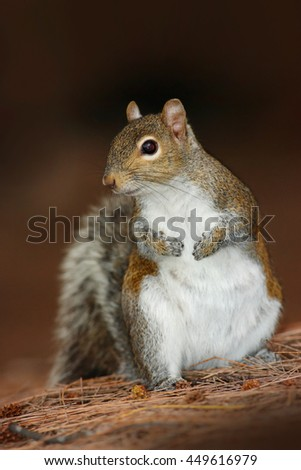 Gray Squirrel, Sciurus carolinensis, in the dark brown forest. Cute animal in the nature habitat. Grey squirrel in the meadow with a bushy tail up. Beautiful animal in the nature. - stock photo