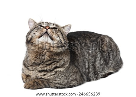 Gray striped cat lies on a white background and looking at the top. Isolated. - stock photo