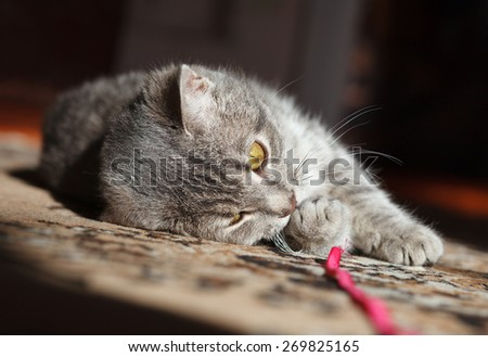 gray striped cat playing with red thread