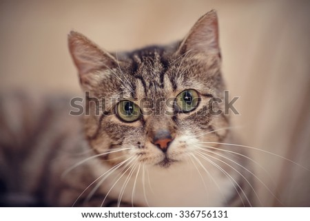 Gray striped domestic cat with green eyes.
