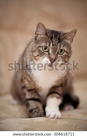 Gray striped domestic cat with green eyes and a white paw. - stock photo