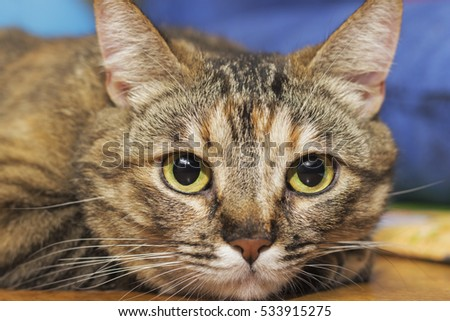 Gray striped domestic playful cat indoors