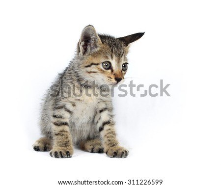 Gray striped kitten. Kitten on a white background. Small predator. Small gray kitten isolated on white background