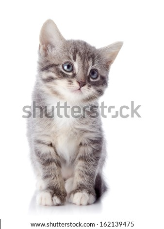 Gray striped kitten. Striped kitten with blue eyes. Kitten on a white background. Small predator. - stock photo