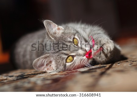 gray striped pussy cat playing red thread - stock photo
