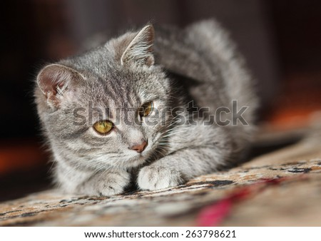 gray striped pussy playing red thread