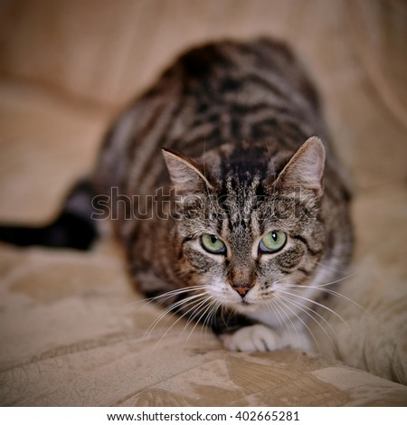 Gray striped shorthair domestic cat with green eyes. - stock photo