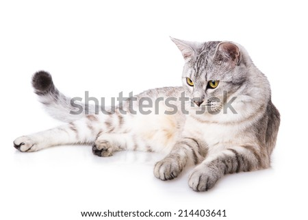 gray striped tabby cat Isolated on white background - stock photo