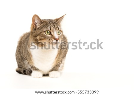 Gray tabby beautiful cat on white background