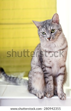 gray tabby cat American Shorthair - stock photo