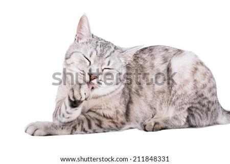 gray tabby cat European portrait - stock photo
