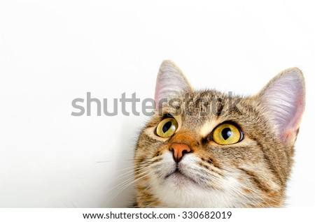 Gray tabby cat on a light background. - stock photo